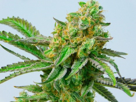 Strains - First State Compassion